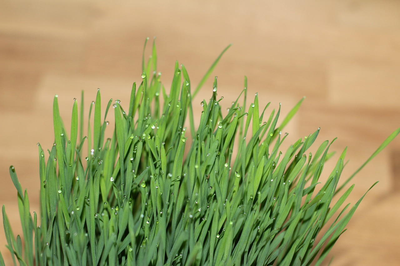 What are the Potential Benefits of Wheatgrass?