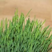 Quels sont les avantages potentiels de l'agropyre ?